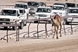 Truckin' Camel